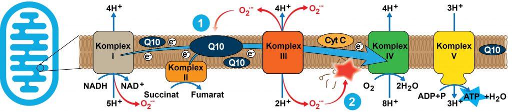 """Die Atmungskettenkomplexe sind an der inneren Mitochondrienmembran lokalisiert. Über die Atmungskette wird die Energie der Nahrung genutzt um einen elektrochemischen Gradienten aufzubauen. An Komplex V der Atmungskette wird dieser Gradient abgebaut. Die freiwerdende Energie wird genutzt um ATP, die universelle Energiewährung der Zelle, zu regenerieren. (""""kontrollierte Knallgasreaktion"""")"""