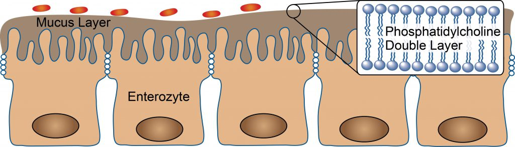 The intestinal epithelium is covered by a protective mucus layer. Phosphatidylcholine is an important component of the mucus layer that maintains its integrity.