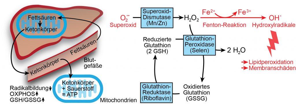 Ketonkörper stellen eine wasserlösliche Energiequelle dar, die bei Reduktion der Kohlenhydratzufuhr in den Mitochondrien der Leberzellen gebildet werden. Über das Blut werden die Ketonkörper zu extrahepatischen Geweben transportiert. Von den Mitochondrien dieser Gewebe werden die Ketonkörper unter vergleichsweise geringer Sauerstoffradikalbildung als Energiequelle genutzt.