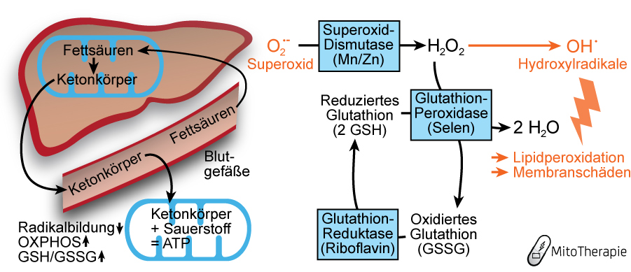 Verstoffwechslung von Fettsäuren zu Ketonkörpern, Verbesserung von Stoffwechselparametern.