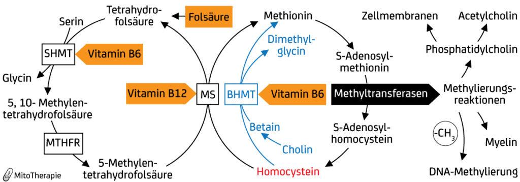 Der Methylstoffwechsel ist von essentieller Bedeutung für die Bildung von Membranphospholipiden