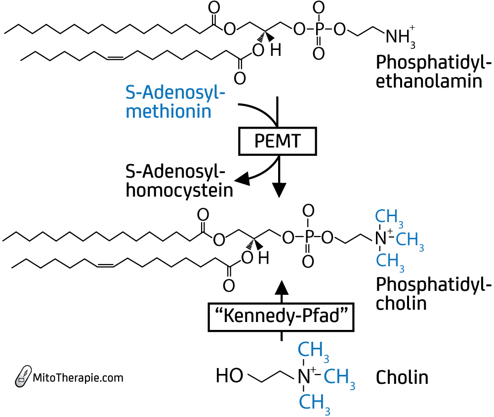 Synthese des Membranphospholipids Phosphatidylcholin